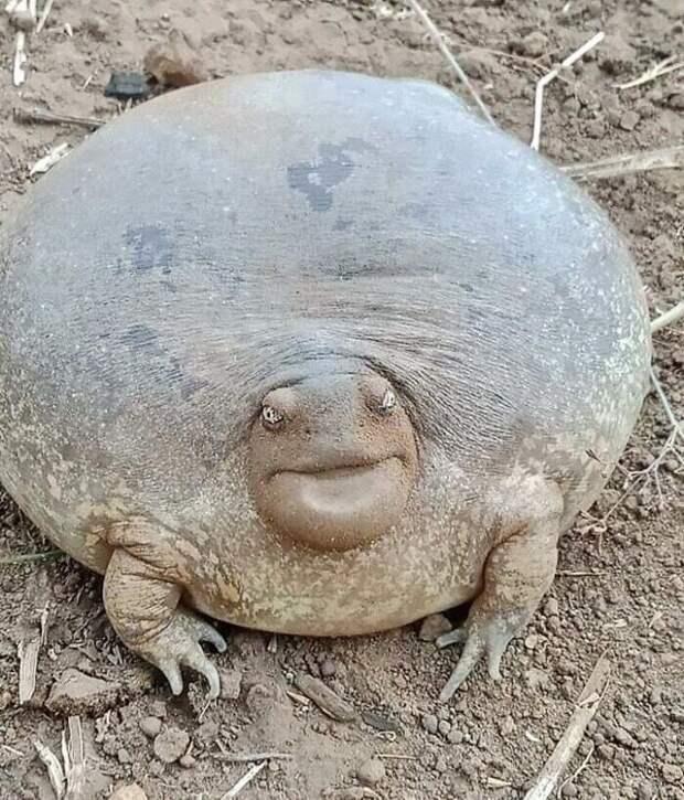 Если вы еще не видели настоящую лягушку-быка, то вам сюда!