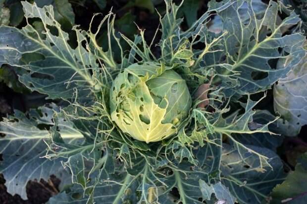 Как спасти урожай капусты от слизней