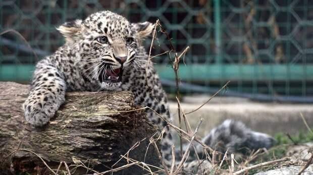 В Китае активно восстанавливают популяцию амурских тигров и леопардов
