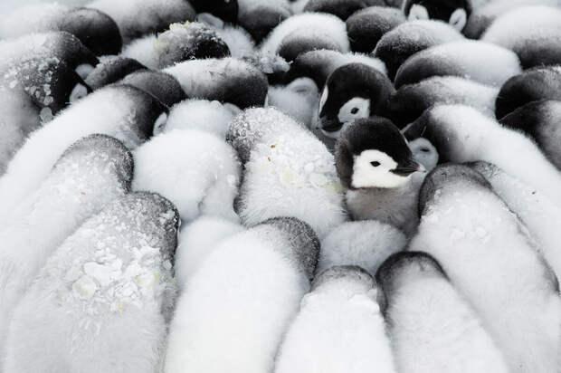 11 милых фото пингвинов, которые вызывают улыбку