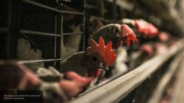 Китайские генетики выяснили, что люди одомашнили куриц более 7500 лет назад