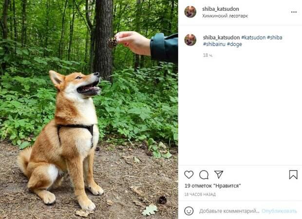 Фото дня: сиба-ину тренировал выдержку в Химкинском лесопарке
