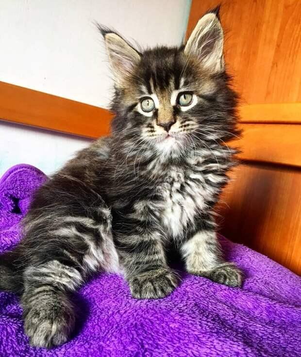 Хозяева Баривеля, Чинзия Тиннирелло и Эдгар Скандурра, предполагали, что из этого котёнка вырастет гигант длина, домашний питомец, животные, кот, красавчик, милота, рекорд гиннесса