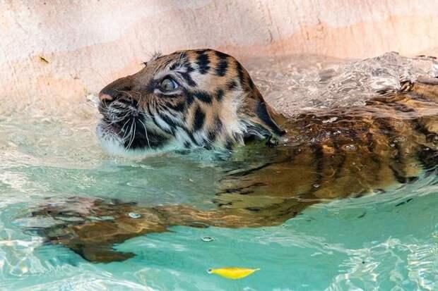 Маленькая тигрюка-злюка впервые купается