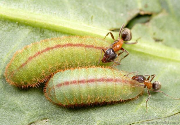 Муравьи тоже страдают от алкоголизма: ради чего насекомые готовы отдать жизнь