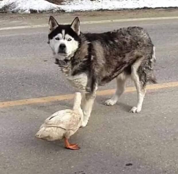 К сожалению, Саша уже была стара и вскоре умерла дружба, животные, история, собака, утка, фото, хаски