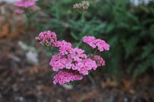 сорт тысячелистника Lilac Beauty