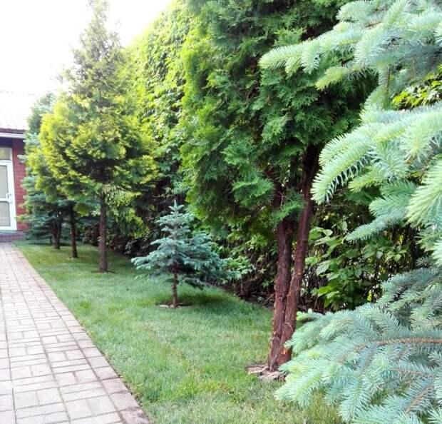 Хвойные деревья на газоне