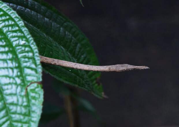 Мадагаскарский листоносый уж: Носатый и смешной пожиратель мелкой фауны прикидывается веткой 90% времени