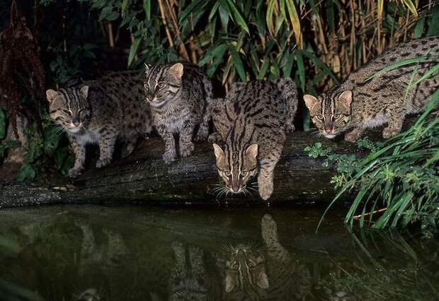 Кот-рыболов — самое большое исключение из правил в мире кошачьих