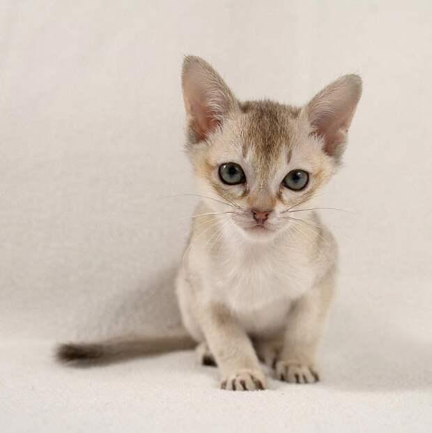 http://murkote.com/wp-content/uploads/2015/07/singapura-cat-10.jpg.pagespeed.ce.MCPTlAH4sm.jpg