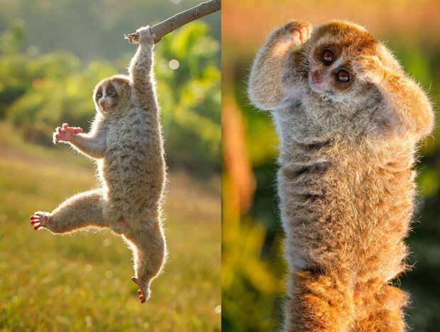 Несмотря на медлительность, кисти у лори очень сильные, потому обезьян может с лёгкостью забираться на вертикальные поверхности и висеть даже на одной лапке.