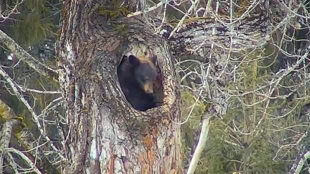 Удивительный белогрудый медведь, который проводит зиму в дупле на дереве
