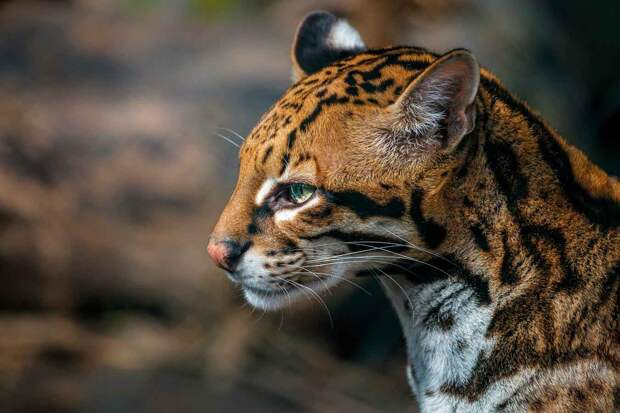 Пятна на ушах оцелота - обманка для хищников
