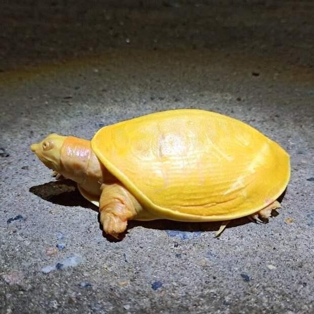 В Индии нашли странную черепаху лимонно-желтого цвета