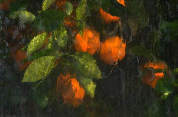 Апельсины, сфотографированные через стеклянные окна теплицы.