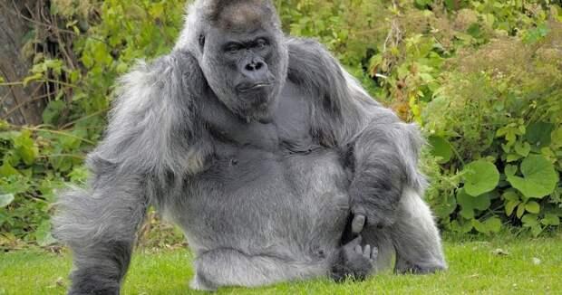 Одна из старейших горилл скончалась в собственном особняке с отоплением и телевидением