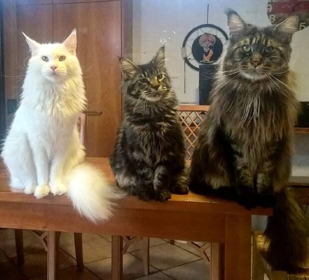 Даже среди здоровяков мейн-кунов он выглядит переростком длина, домашний питомец, животные, кот, красавчик, милота, рекорд гиннесса