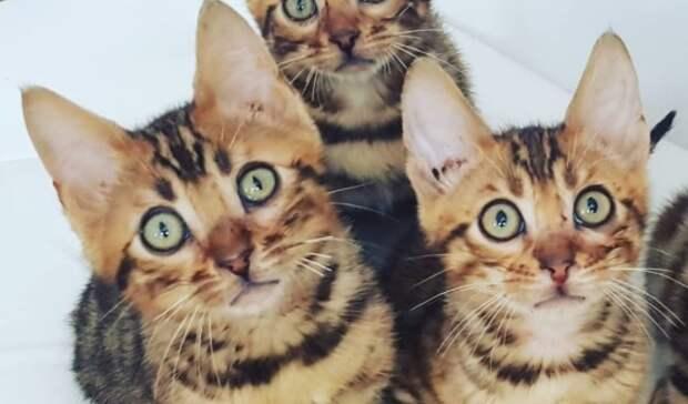 «Жизнь захозяина». Заводчик кошек Анна Воложайкина— освоих питомцах