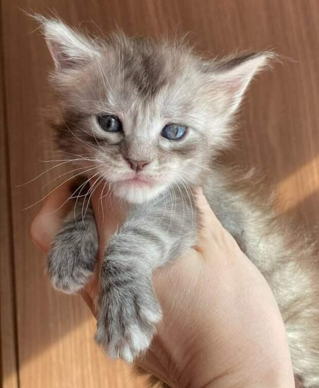 Котёнок мейнкун просил на рынке еду, но он был настолько мал, что не мог есть твердую пищу, только люди этого не понимали.
