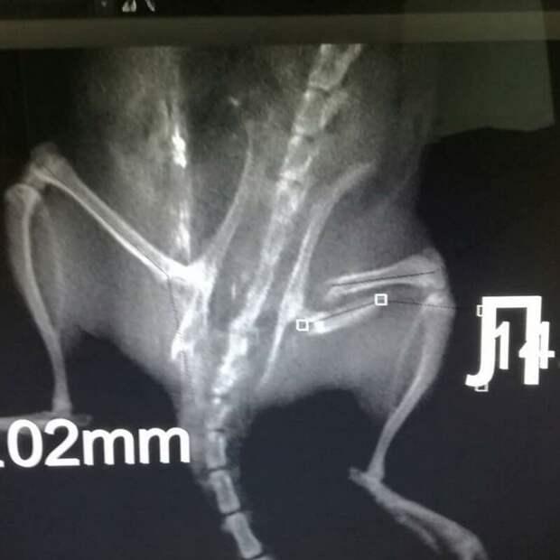 """""""Плакала человеческими слезами"""": врачи Уфы прооперировали крыску, сломавшую бедро"""