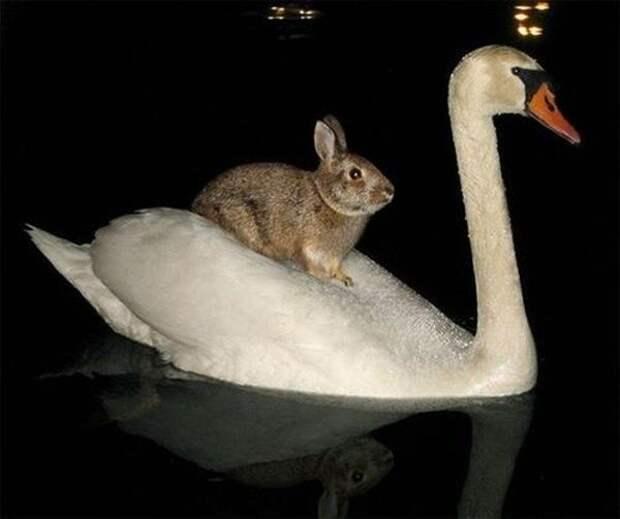 Лебедь-Мазай животные, наездники, смешные, фото, хитрые