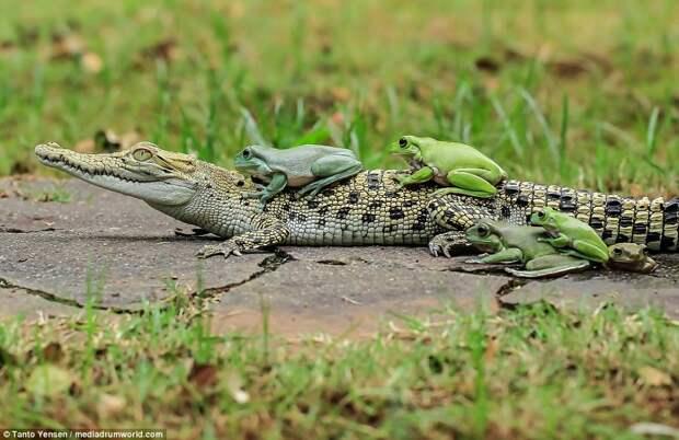 Храбрые лягушки решили станцевать на спине у крокодила в мире животных, лягушки