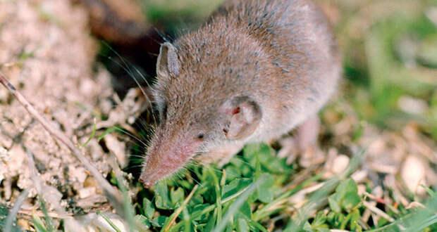 Самые маленькие представители отряда млекопитающих