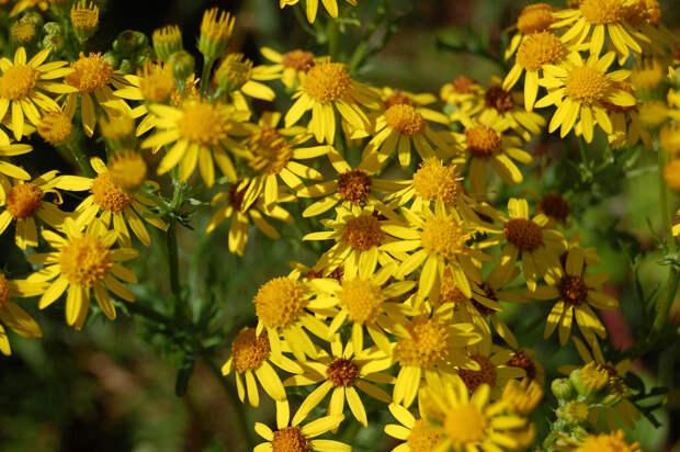 Крестовник. Растение вырабатывает больше восьми токсичных алкалоидов. Попадая в организм человека или животного (к примеру, через мёд или молоко), они откладываются в печени. В результате у субъекта может развиться цирроз печени. (Magnus Forrester-Barker)