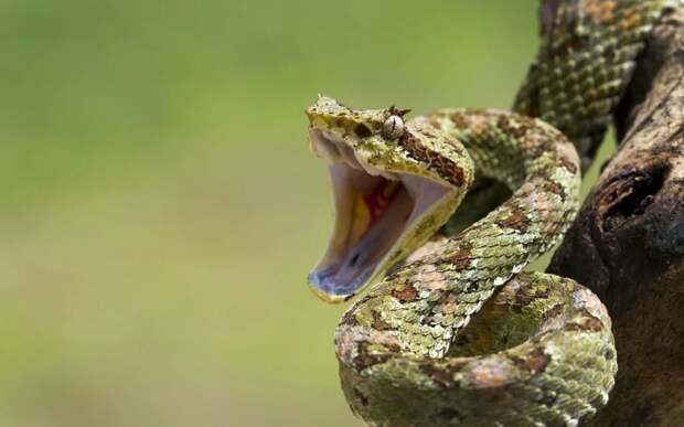 Реснитчатая гадюка: Реснички, которые помогают убивать, и хвост для имитации червячка