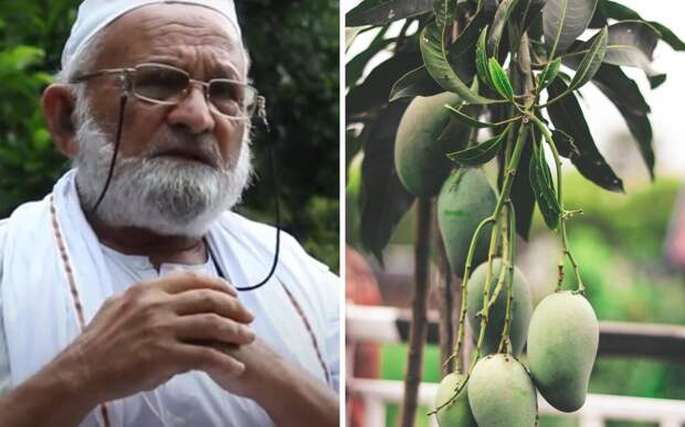 Индийский селекционер создал манговый сад из одного старого дерева
