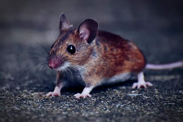 Почти в два раза меньше стали болеть мышиной лихорадкой в Удмуртии