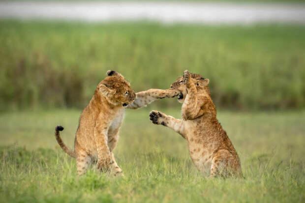 Ярин Кляйн / Comedy Wildlife Photo Awards 2020