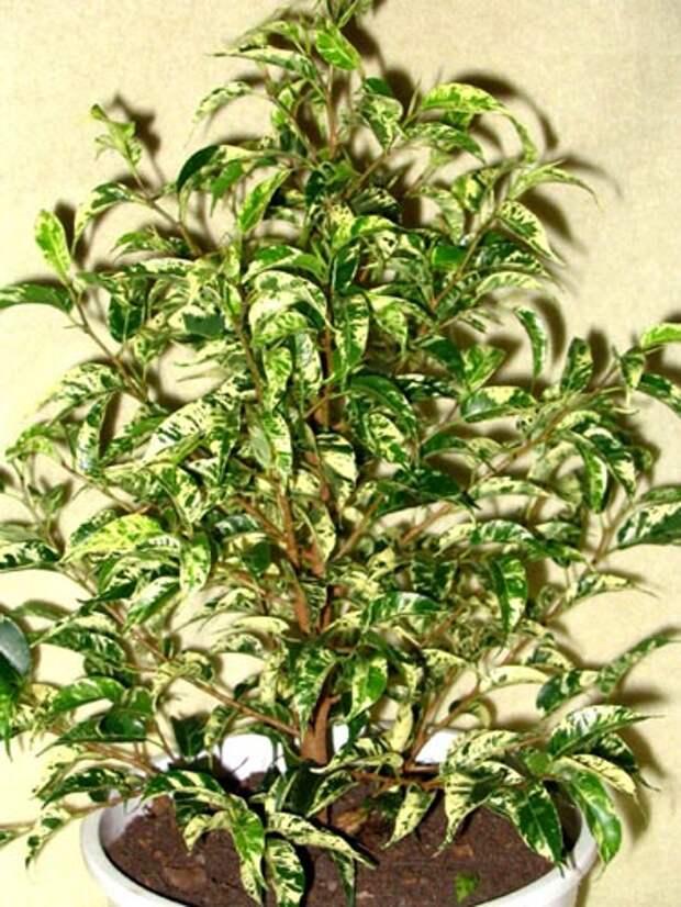 цветок фикус