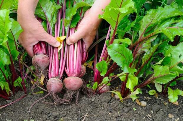 Когда и как нужно собирать морковь, редьку и свеклу