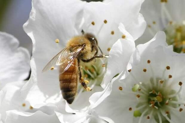 В Польше от отравления пестицидами погибло 7,5 миллионов пчёл