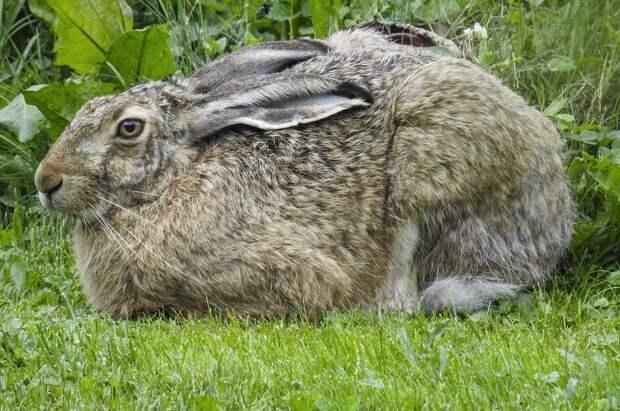 В Удмуртии могут запретить охоту на зайца-русака