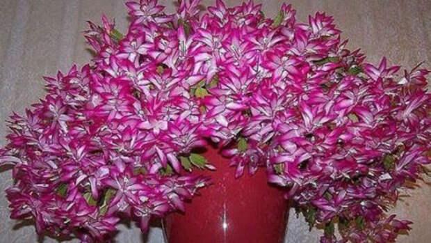 Касторовое масло для пышного и яркого цветения