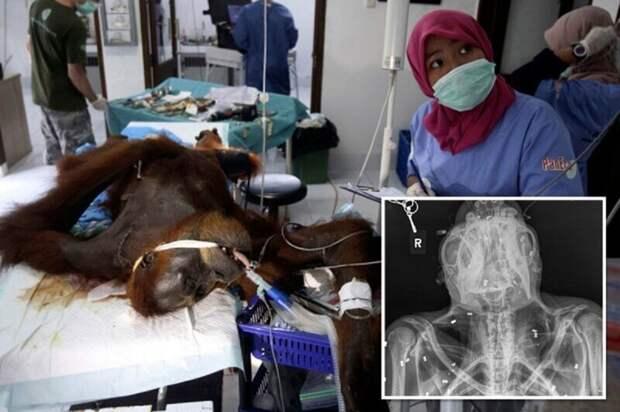 Самка орангутана ослепла, защищая детеныша