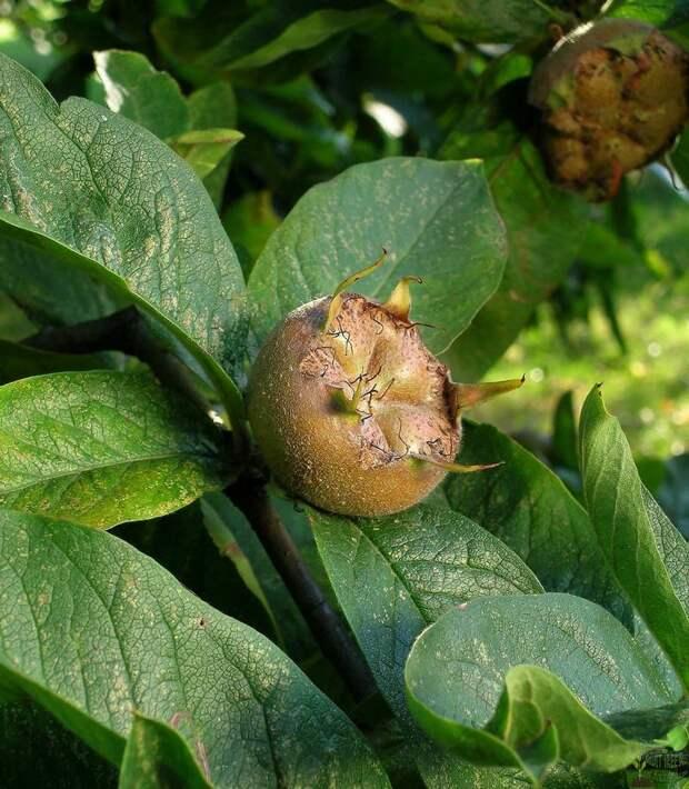 http://fruittree.ru/wp-content/uploads/2014/07/mushmula_germanskaja_foto2.jpg