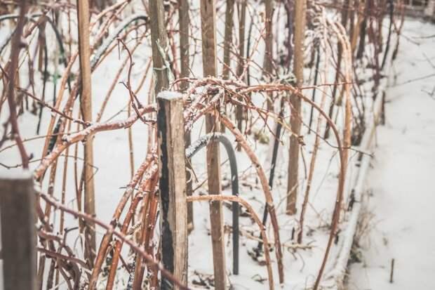 Укрывать ли малину на зиму