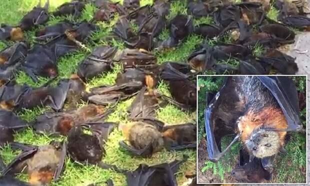В Австралии из-за жары массово гибнут летучие мыши