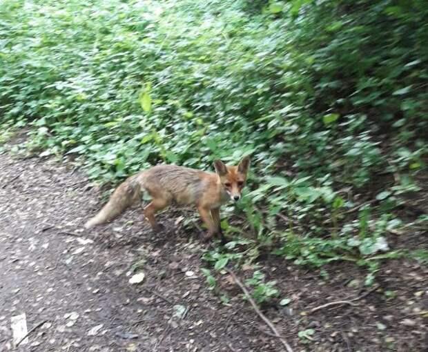 Лиса повадилась в парк «Покровское-Стрешнево»