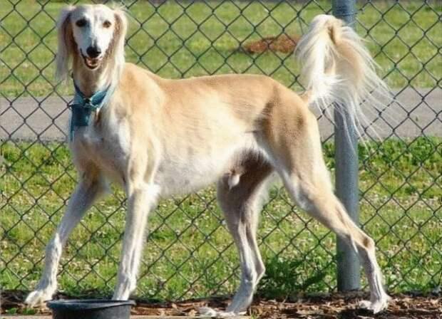 Фотографии 12 пород собак, изменивших свой вид за последние 100 лет…