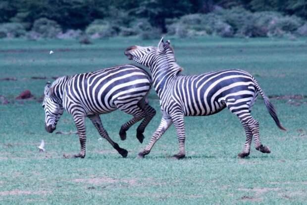 Зебры обладают строптивым характером и могут постоять за себя. От врагов они защищаются зубами и передними копытами