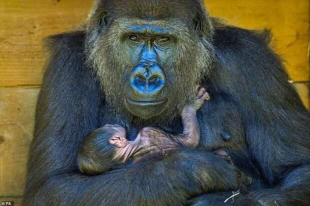 Фотографии новорожденной гориллы и ее мамы