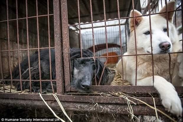 Защитники животных спасли 170 собак от убоя в Южной Корее животные, защитники животных, новости, собаки, спасение, фото, щенки, южная корея