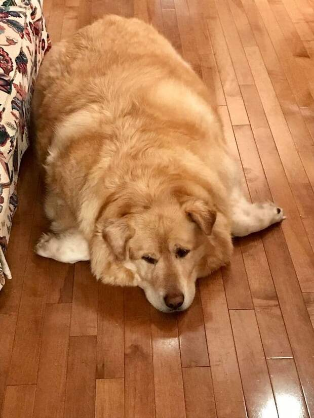Хозяин раскормил ретривера до 79 килограммов, а потом решил, что толстый пес ему не нужен и пора его усыпить