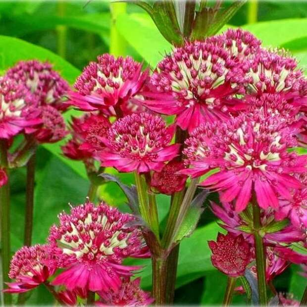 Многолетние растения, цветущие с начала и до конца лета