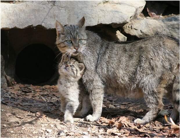 Дикий лесной кот: Ненавидит людей, убивает оленей (7 фото)
